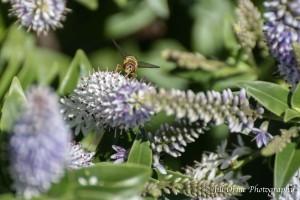 150709 15 marmalade fly