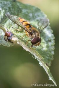150718 5 marmalade fly