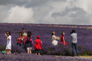 150721 07 Cotswold Lavender-2