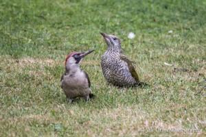 150728 07 green woodpeckers