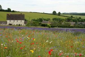 140626 10 Cotswold Lavender