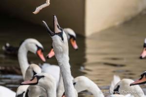 150812 03 swans