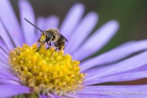 150825 11 Lasioglossum calceatum