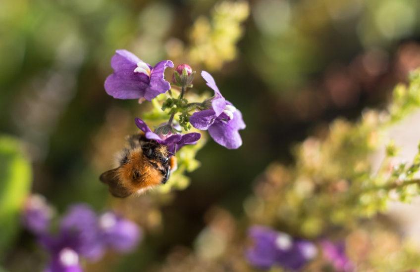 Bumblebee and bokeh