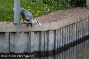 150917 08 grey heron-2