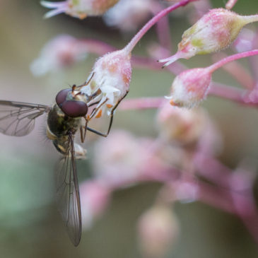 Surely not another hoverfly??
