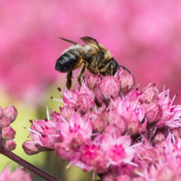 Sedum and bee