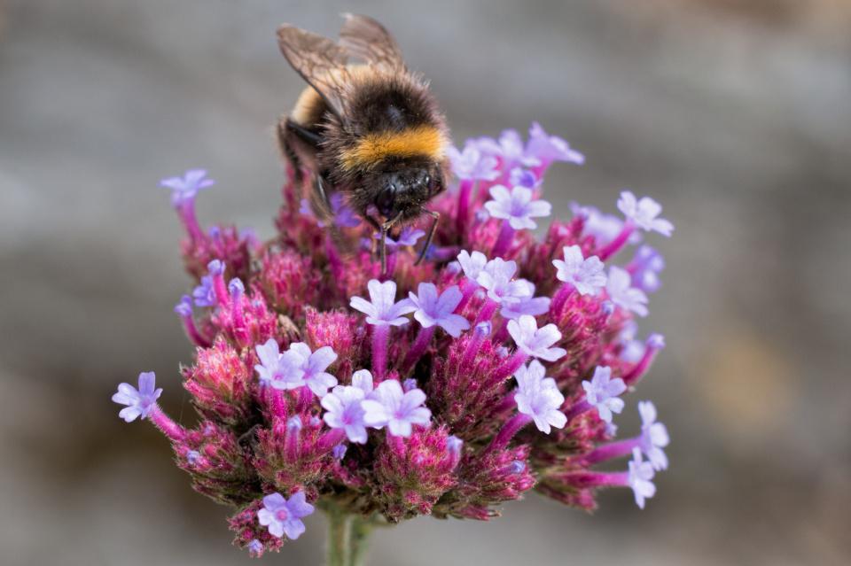 Verbena and bee