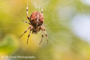 151008 04 garden spider