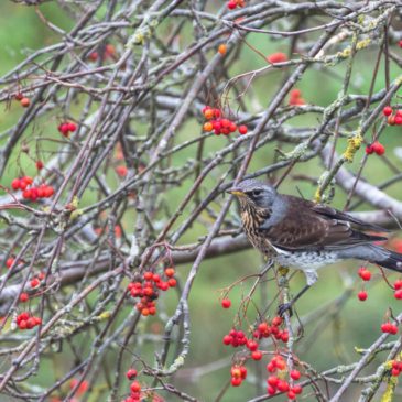 Another fieldfare