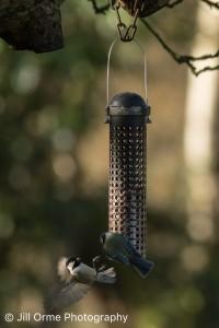 160128 26 garden birds-2