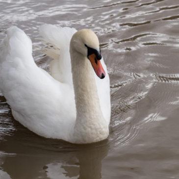 Emergency swan blip