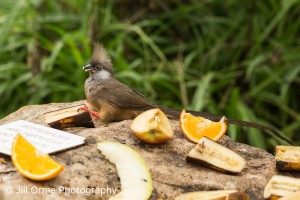 160204 24 speckled mousebird-2