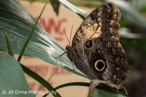 160209 04 owl butterfly