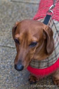 160102 8 dachshund