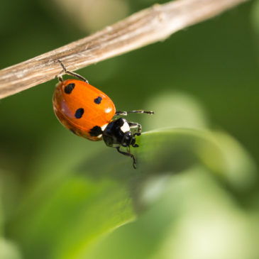 Ladybird acrobatics