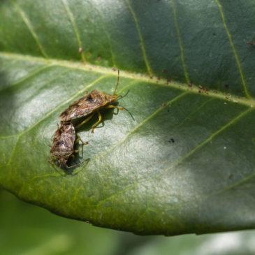 Parent bugs