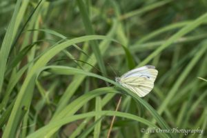 160723 2 Green-veined White