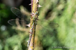 160807 3 Southern Hawker