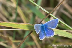 160808 5 Common Blue