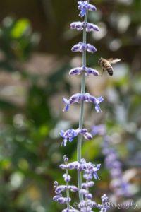 160817 6 honeybee