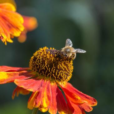 Honeybee rescue