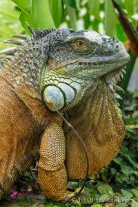 160927-19-iguana