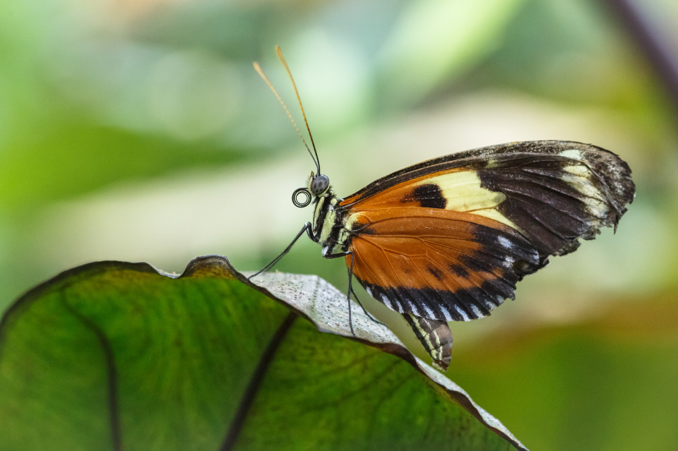 Hecales Longwing