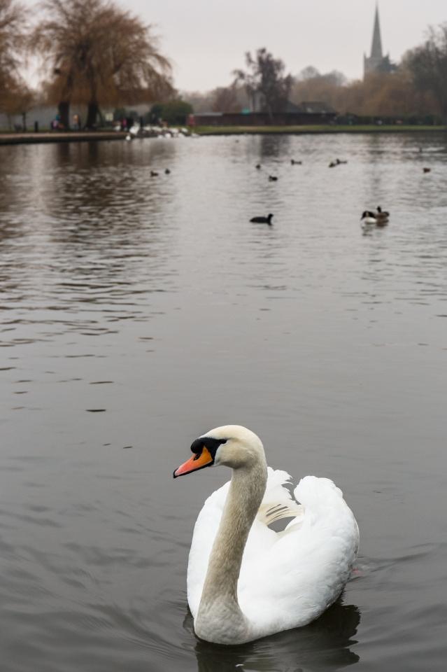 Emergency swan