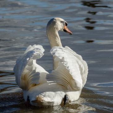 Saturday swan