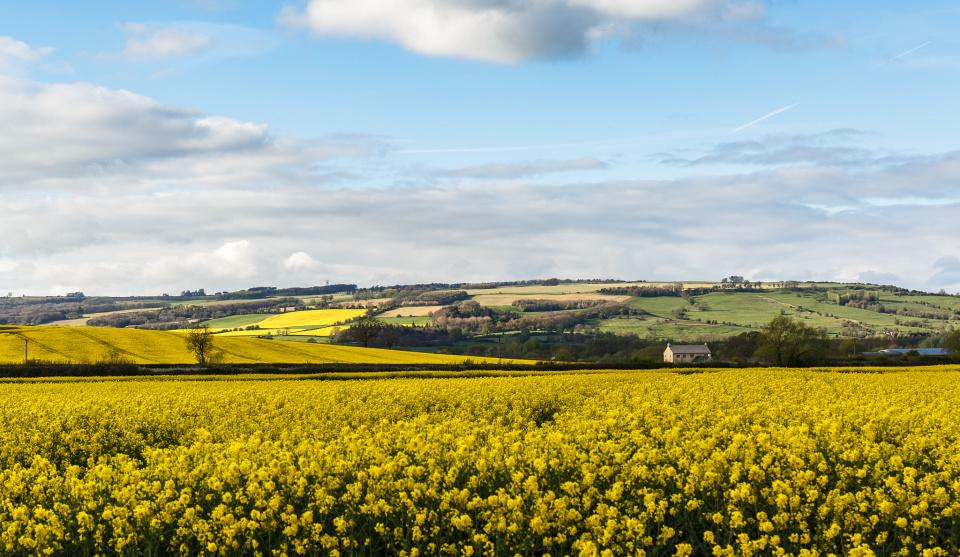 Fields of lead-tin yellow