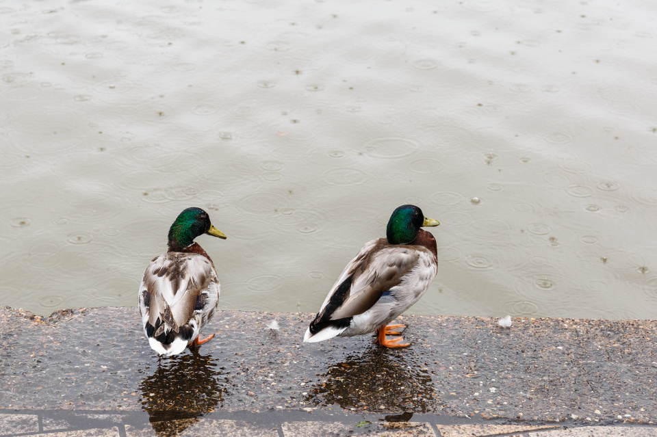 Nice weather for ducks