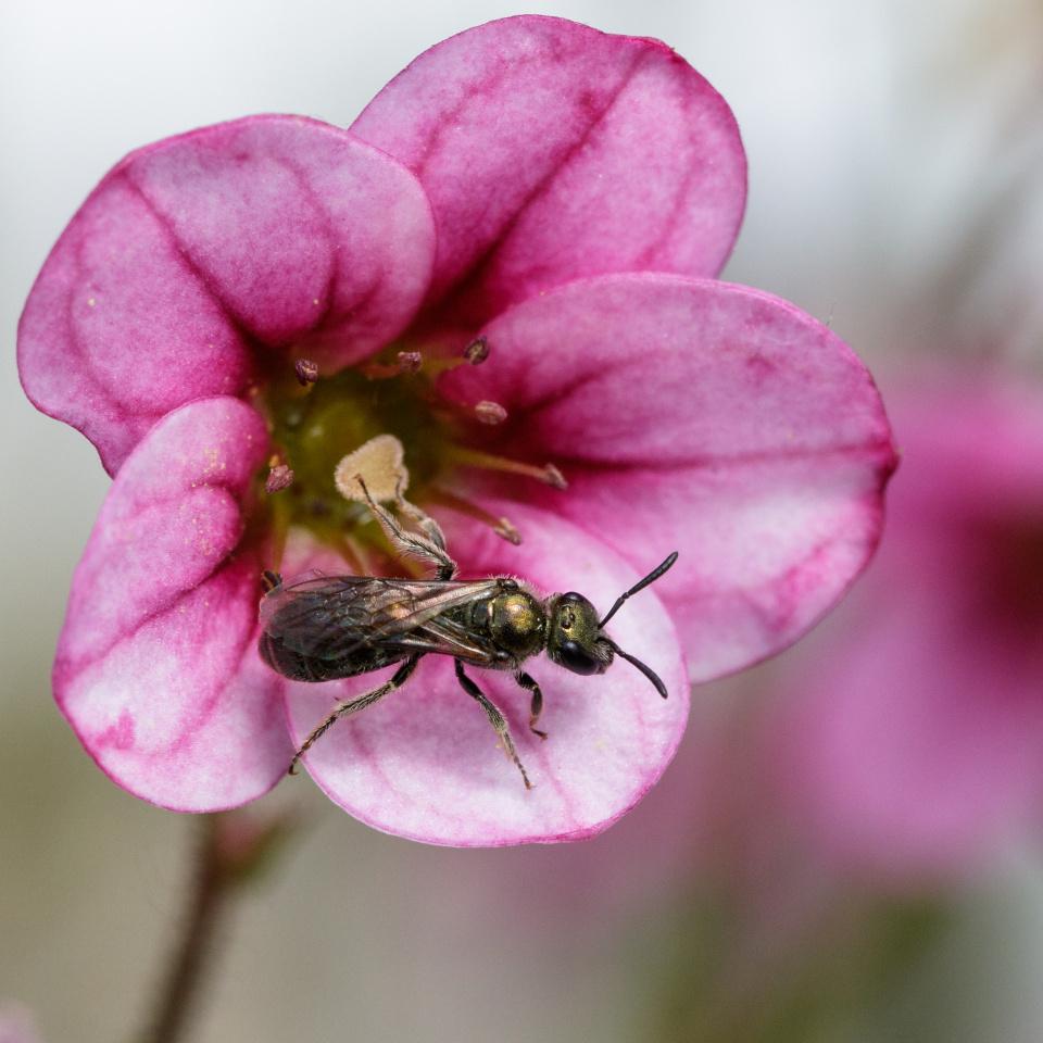 Furrow bee