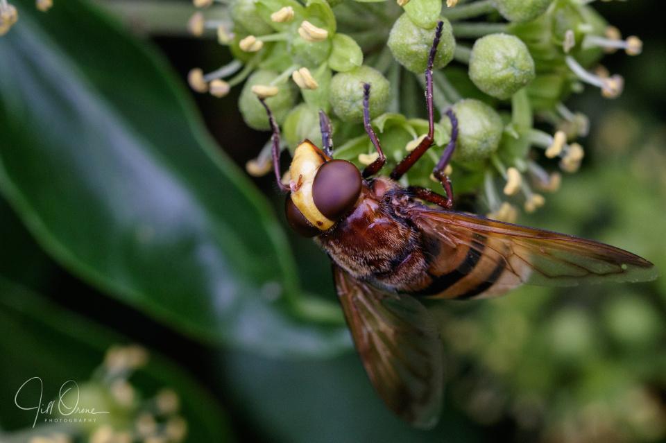Hornet hysteria