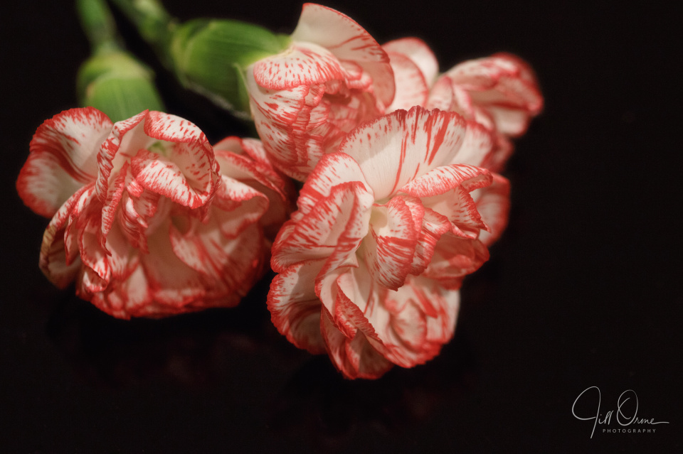 The Pink Carnation