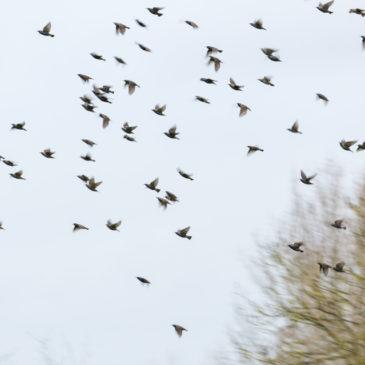 Starling gazing