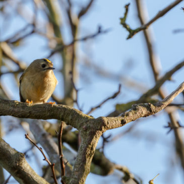 First, find your goldcrest