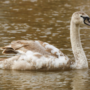 Not such an ugly duckling