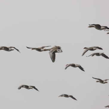 Greylags in the mist