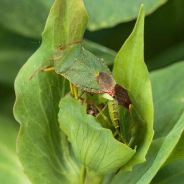 Shieldbug lurv