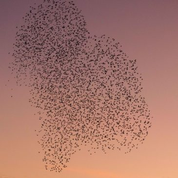 Love starlings