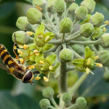 Hummingfly