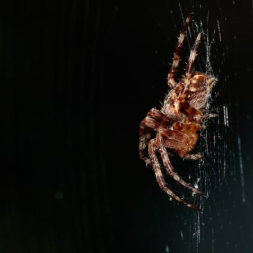 Spider of the month