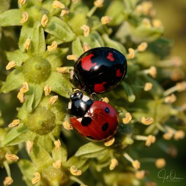 Ladybubble