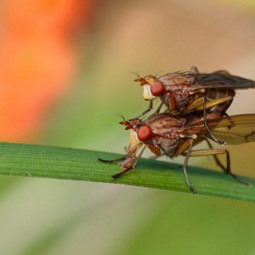 Marsh flies