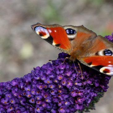 Bushy butterfly