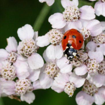 Emergency ladybird