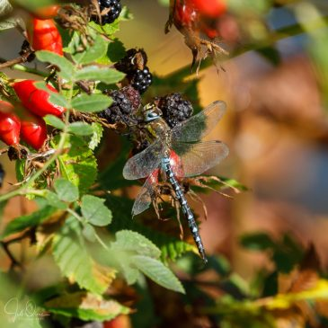 Autumn Hawker