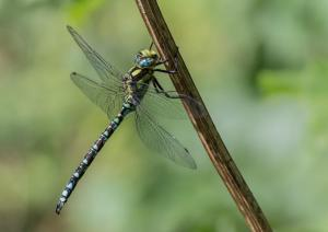 07 Southern Hawker