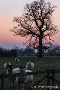 Aston-sub-Edge sunset sheep